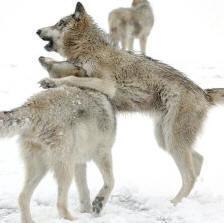 Волки-подростки