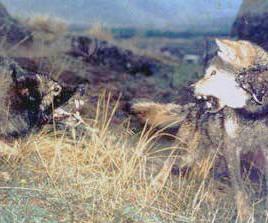 Шарпланинская овчарка и волк