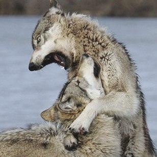 Волки, агрессия внутри стаи